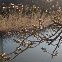 桜の蕾の観察?~澄んだ空気をいっぱい吸い込んで・・・朝散歩です~