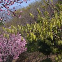 毎年楽しみのカンヒザクラ並木とキブシの重なるシーンが
