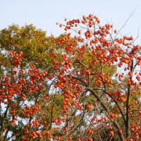 鈴なりの柿とキャベツ畑・・・どちらも見事です。