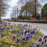 青紫色の ムスカリ が咲いていました