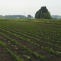 晴耕雨読日記 平成29年5月23日 火曜日 ジャガイモの芽欠き作業
