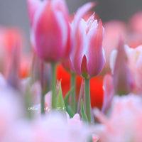 不細工なチューリップ花壇