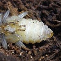 シナノラギ幼虫 飼育結果など・・・