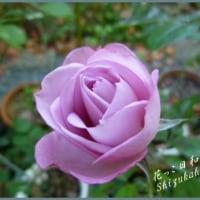 秋庭終わりに薔薇