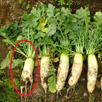 大根の収穫と人参の間引き