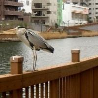 鳥@小名木川、2/27、その2、アオサギ