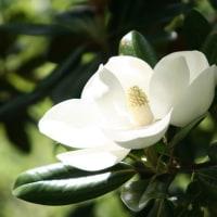 泰山木の花 (今日)