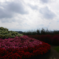 コキアと富士山~河口湖大石公園①