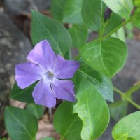 パンセの庭の花 5月 23日 アズマギク ニチニチソウ ユキザサ