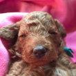 ミディアムプードルのノッコさんの子犬 画像と動画