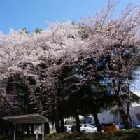 また桜です