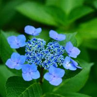 No.3930  Blue hydrangea