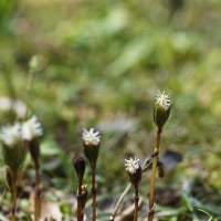 ヒトリシズカ  季節の山野草