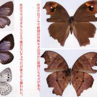 1.チョウやガの翅に残る鳥の嘴によってできた傷から何がわかるか?その7