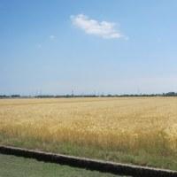 涼感漂う麦秋風景
