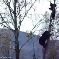 男性がクマに追われて木の上に逃げてる
