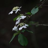 オオカメノキ、ハコネウツギの花。きょうの一句「花の雲」