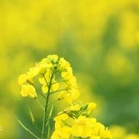 視野いっぱいの菜の花畑