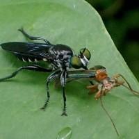 ウメノカミキリモドキを捕食  ヒサマツムシヒキ