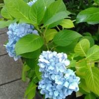 鏑木清方記念美術館の紫陽花