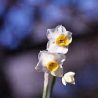 菜の花、スイセン、御嶽海