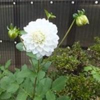 10月21日(金曜日)「白いダリア」(Ka-Koさん)
