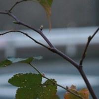 カジイチゴ(木苺)の新芽