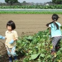 Fちゃん、今日の遊びは芋掘り