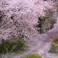 散りゆく桜の美しさ
