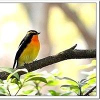 今日の野鳥、キビタキ ・ オオルリ。