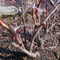 ブルーベリーの接ぎ木