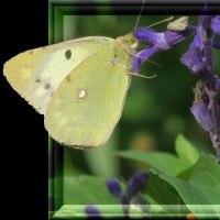蝶のはみ出しと洋蘭