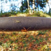 ヒゲナガサシガメ幼虫とクヌギカメムシ