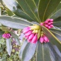三椏と沈丁花