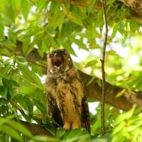 大あくびをしていた、トラフズクの幼鳥。