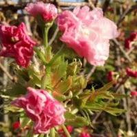 庭の枝垂れ桜は賑やかだケド、懐は少々寂しくなった今日この頃。
