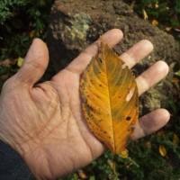 綺麗な枯れ葉