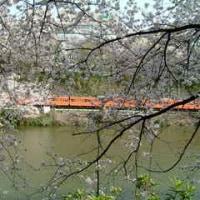 外濠公園・靖国神社・千鳥ヶ淵で桜三昧