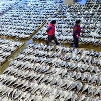 韓国大型巻き網漁船 クロマグロ未成魚を大量漁獲 リミットを40トン超過