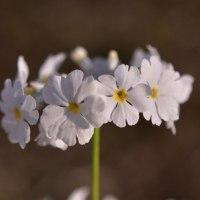 サクラソウの仲間も咲き始めました。 (Photo No.13991)