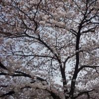 真間川沿いの桜 2017年4月6日