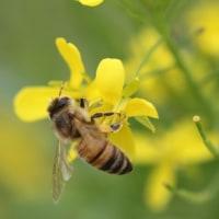 日本ミツバチが活発に活動し始めました!菜花で採蜜に!!!!。