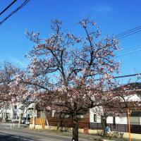 新柏さくら通りの桜 今年の開花は遅れ気味です