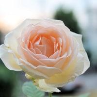 薫乃ちゃん咲きました