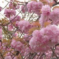今年の花見は京都御苑