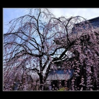 しだれ桜が咲いた
