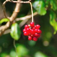 葛(かずら)に赤い実が付いています。 (Photo No.13863)