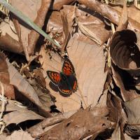 初物の蝶々 ベニシジミ、ミヤマセセリ、アゲハ