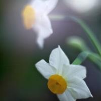 赤塚の早咲きスイセン