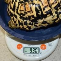 カメ吉の体重測定